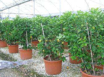 Produzione e vendita piante da esterno ornamentali for Bonsai limone vendita